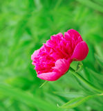 Bright pink peony in nature Stock Photography