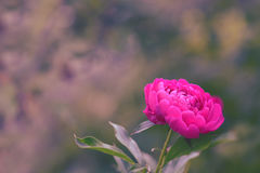 Bright pink peony outdoors. Peony flower on a beautiful background with place for text. Royalty Free Stock Image