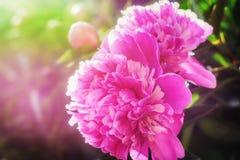 Bright pink peony with sunshine light Royalty Free Stock Image