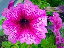 Bright pink petunia Stock Photography