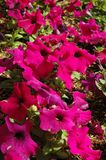 Bright pink petunias Stock Images