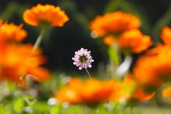 Bright pink pincushion flower in the sun surrounded by blurry orange colored pot marigold blossoms stock photography