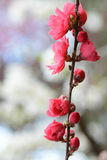 Bright pink plum blossoms newly opened during spring 2016 in Japan Royalty Free Stock Photos