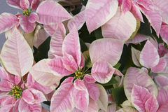 Bright pink poinsettia or christmas flower Stock Photography