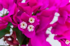 Bright pink purple bougainvillea flowers as floral background. Close - up of bougainvillea flowers.  royalty free stock image
