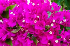 Bright pink purple bougainvillea flowers as floral background. Close - up of bougainvillea flowers.  royalty free stock photography