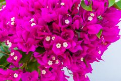 Bright pink purple bougainvillea flowers as floral background. Close - up of bougainvillea flowers.  stock photos