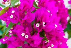 Bright pink purple bougainvillea flowers as floral background. Close - up of bougainvillea flowers.  royalty free stock images