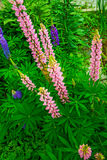 Bright pink and purple Lupine, flower with many petals Stock Image