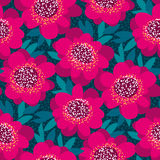 Bright pink and red decorative camellia flowers Stock Photography