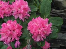 Bright Pink Rhododendron In Bloom In Late Spring. Bright pink rhododendron with long stamens in bloom in late spring in a greenhouse stock image