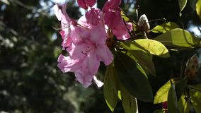 Bright pink rhododendron blowing in the breeze. In summer stock video