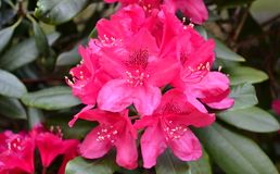 Bright pink rhododendron flowers. In close up Royalty Free Stock Photography