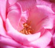 Bright pink rose Stock Photos