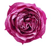 Bright pink rose flower white isolated background with clipping path. Flower for design, texture, background, frame, wrapper. Cl. Oseup. Nature Royalty Free Stock Image