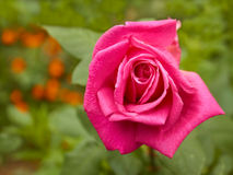 Bright pink rose in flowerbed Royalty Free Stock Photography