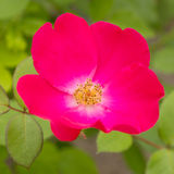 Bright pink rose in nature Stock Photography