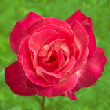 Bright pink rose in nature Stock Photos