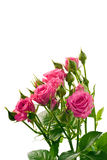 Bright pink roses. Isolated on white Stock Photo