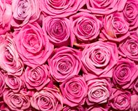 Bright pink roses Royalty Free Stock Photography
