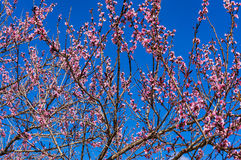Bright pink sakura, sherry blossoms with blue sky on the backgro Stock Photos