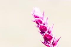 Bright pink salvia flower, copyspace Stock Photos