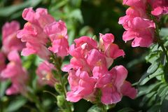 Pink Snapdragons Stock Photo