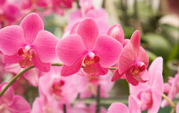 Bright pink stripy phalaenopsis Royalty Free Stock Image
