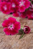 Bright pink sweet william flower close up Stock Images