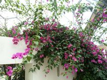 Bright Pink Trailing Flowers stock images