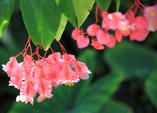 Tropical Begonia Flower. Bright Pink Tropical Flower with green leaves, angel wing cane-like Begonia Stock Photo