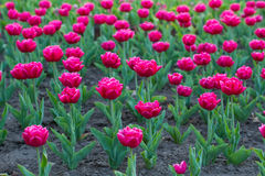 Bright pink tulips. Royalty Free Stock Image