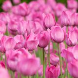 Bright pink tulips flowering in the garden or in the park. Bright pink tulips with drops of dew on petals flowering in the garden or in the parkn royalty free stock photos