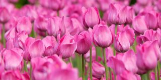 Bright pink tulips flowering in a summer park or in the garden. Bright pink tulips with drops of dew on petals flowering in a summer park or in the garden royalty free stock photos