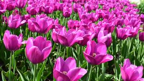 Bright pink tulips flowers stock video