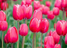 Bright Pink Tulips Stock Photos