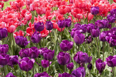 Bright Pink Tulips with one Yellow Tulip Royalty Free Stock Photography