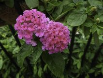 Verbena. Bright pink verbena flower cluster also know as lantana Royalty Free Stock Photography