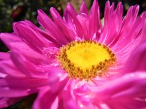 Bright pink-violet flower close-up. stock photo