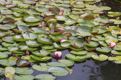 Bright pink water lilies Stock Photos