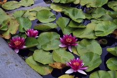 Bright pink water lilies in lake stock photo