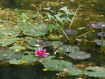 Bright pink water lily or nymph in autumn pond. royalty free stock image