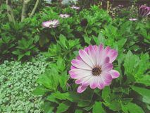 Bright pink white flower a garden bed Royalty Free Stock Images