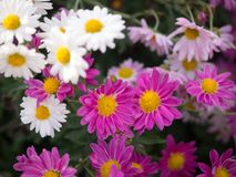 Bright Pink and White Mums flowers blooming in the garden stock photo