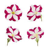 Bright Pink and White Petunia Flower Isolated Stock Image