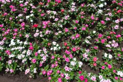 Bright pink, white and red fowers of Catharanthus roseus Stock Photo