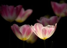 Bright pink and white tulips Stock Images