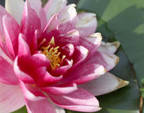 Bright pink with white water lily growing in the lake Stock Photos