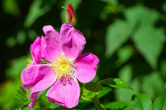 Bright pink wild dog-rose flower macro photo Stock Photos