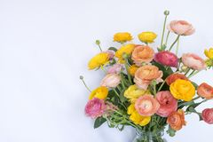 Bright Pink Yellow Peach Orange Ranunculus Fowers on White Background royalty free stock photography